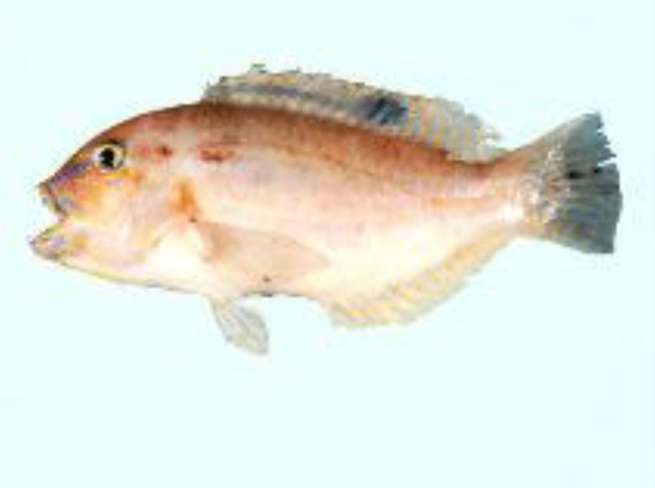 Dark-spot Tuskfish