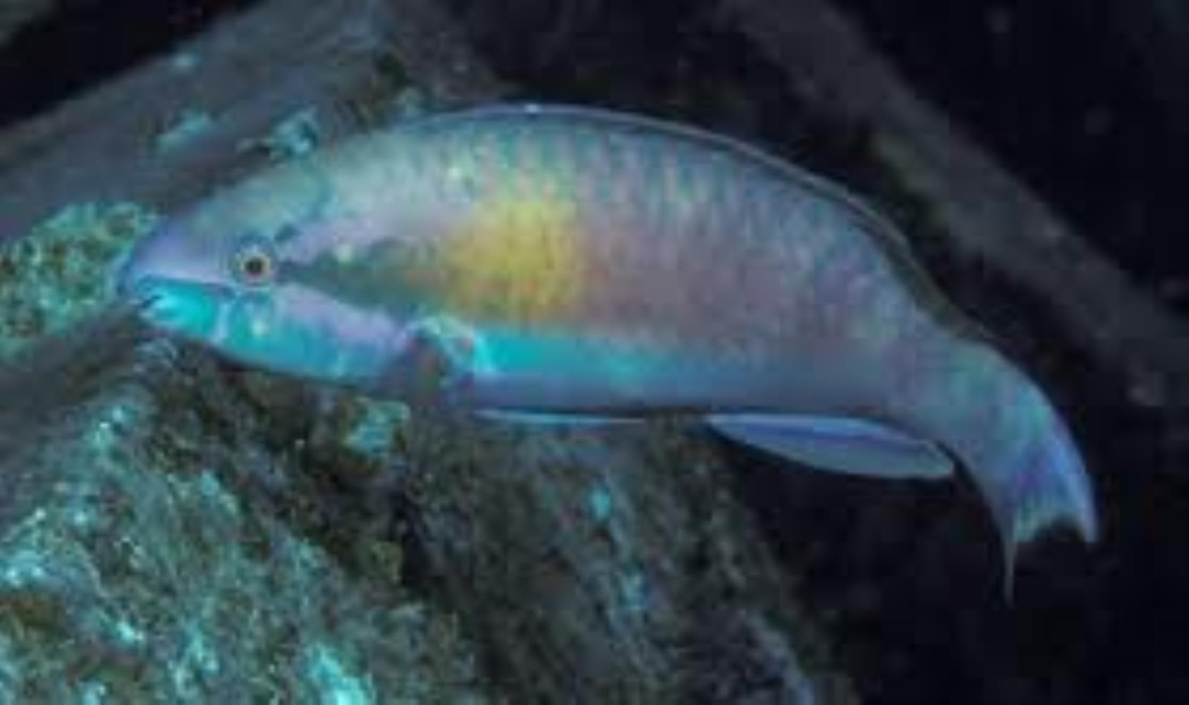 Darktail Parrotfish
