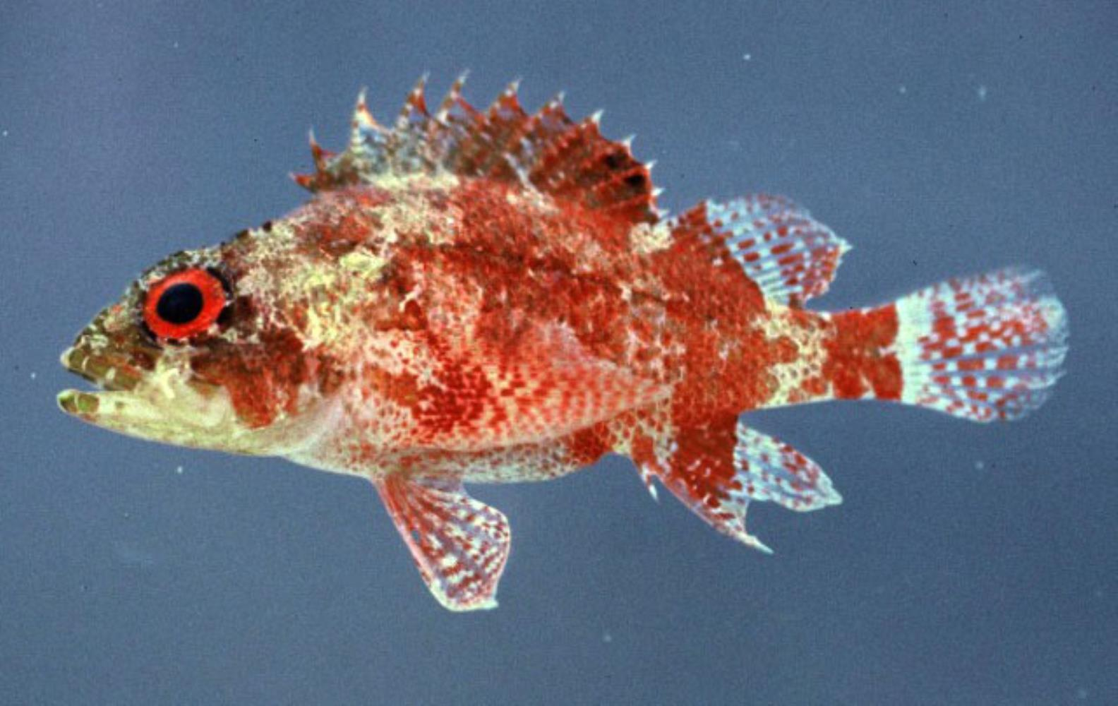 Deepreef Scorpionfish