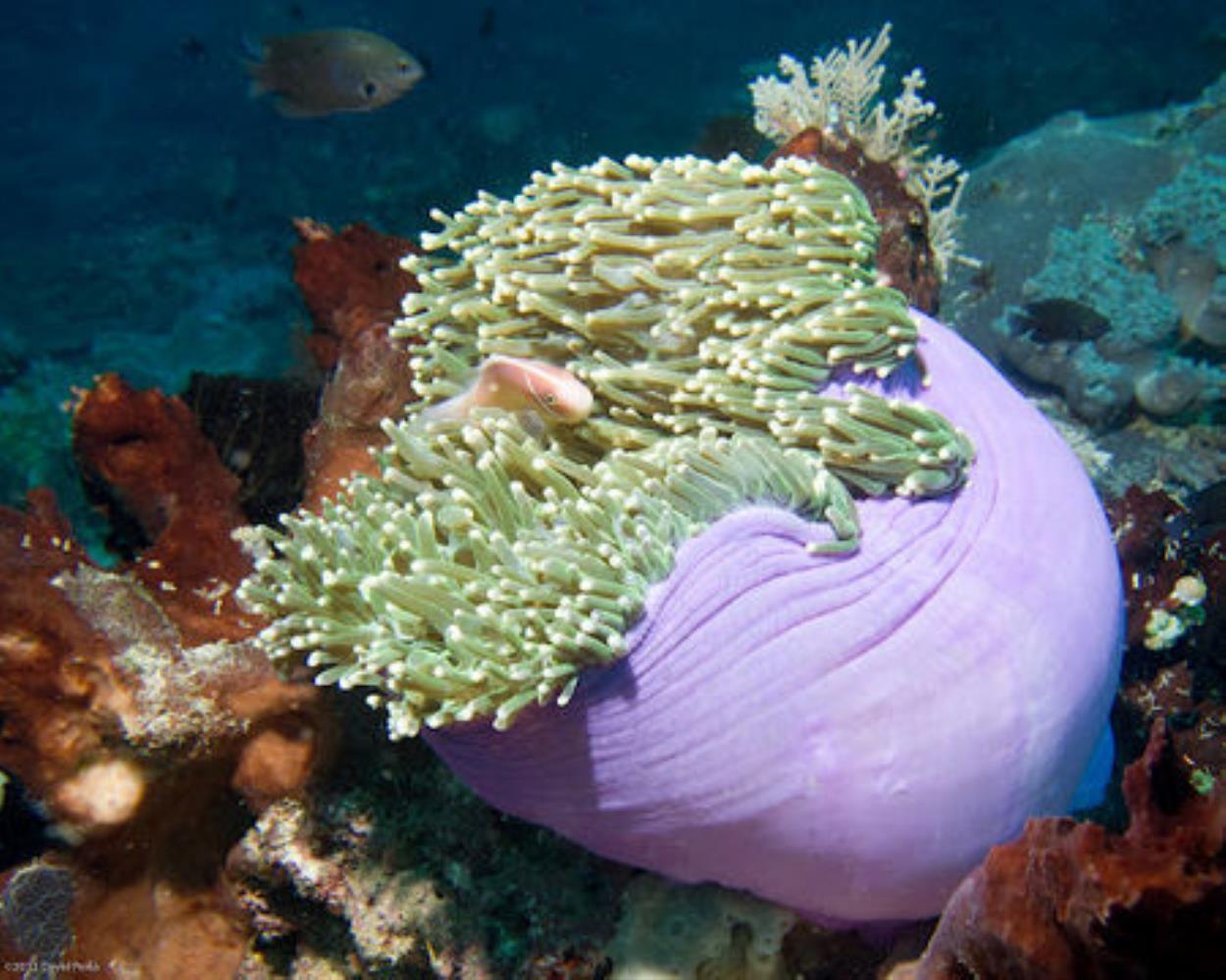 Delicate Sea Anemone