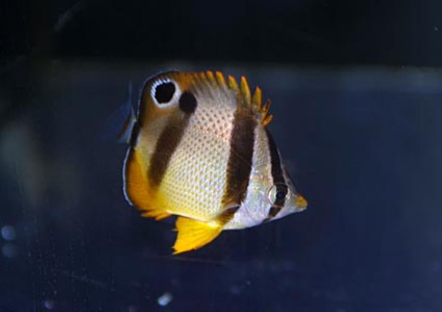 Doublesash Butterflyfish