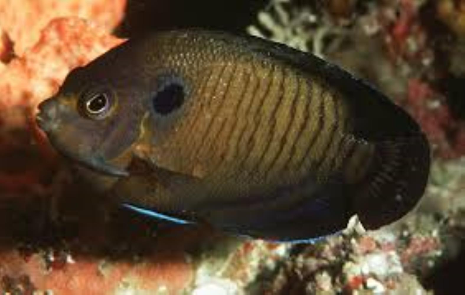 Dusky Angelfish