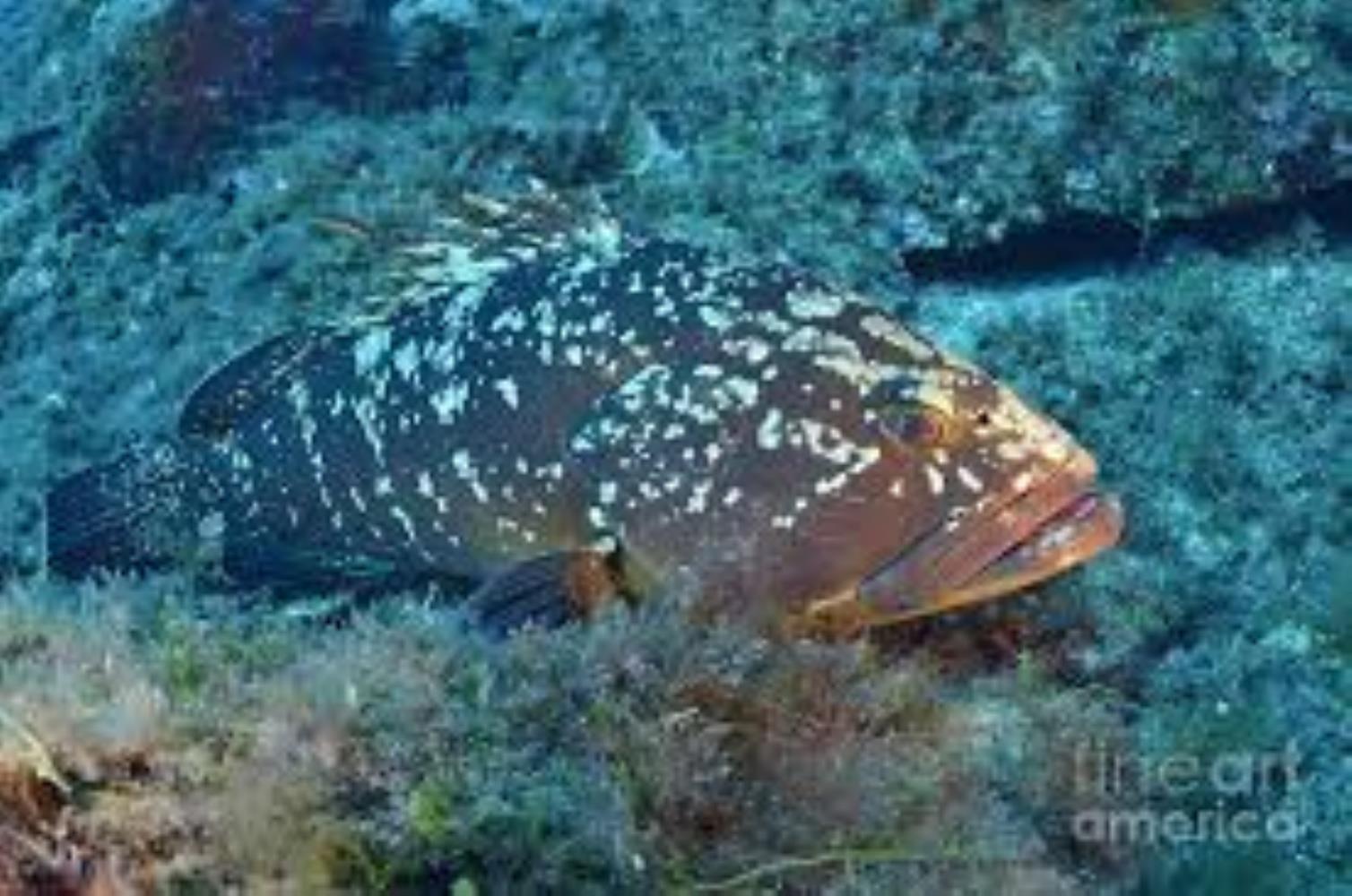 Dusky Grouper/Merou