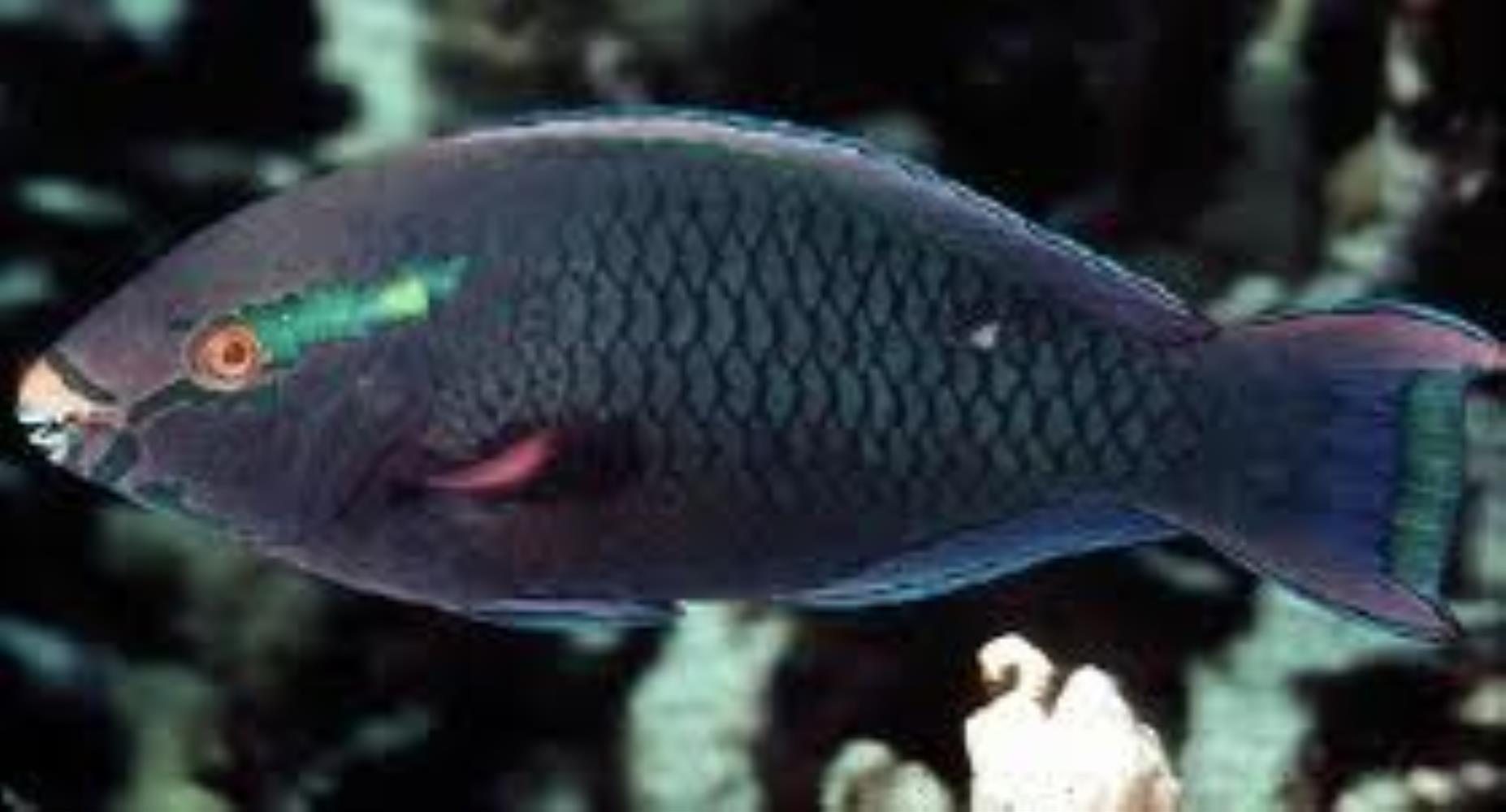 Dusky Parrotfish
