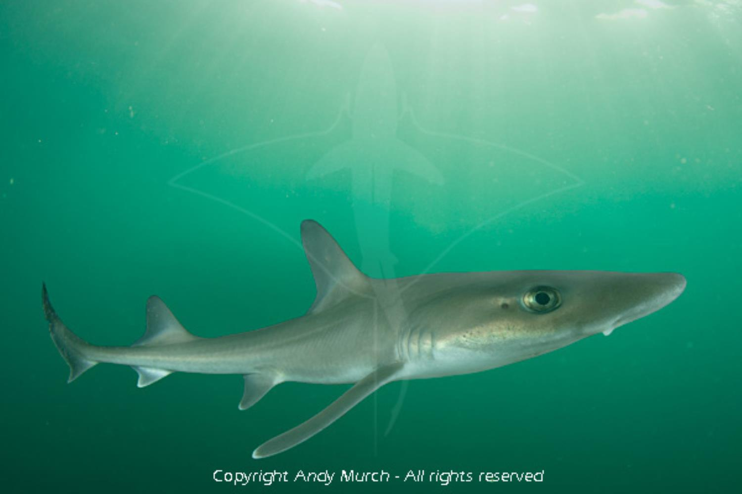 Dusky Smoothhound