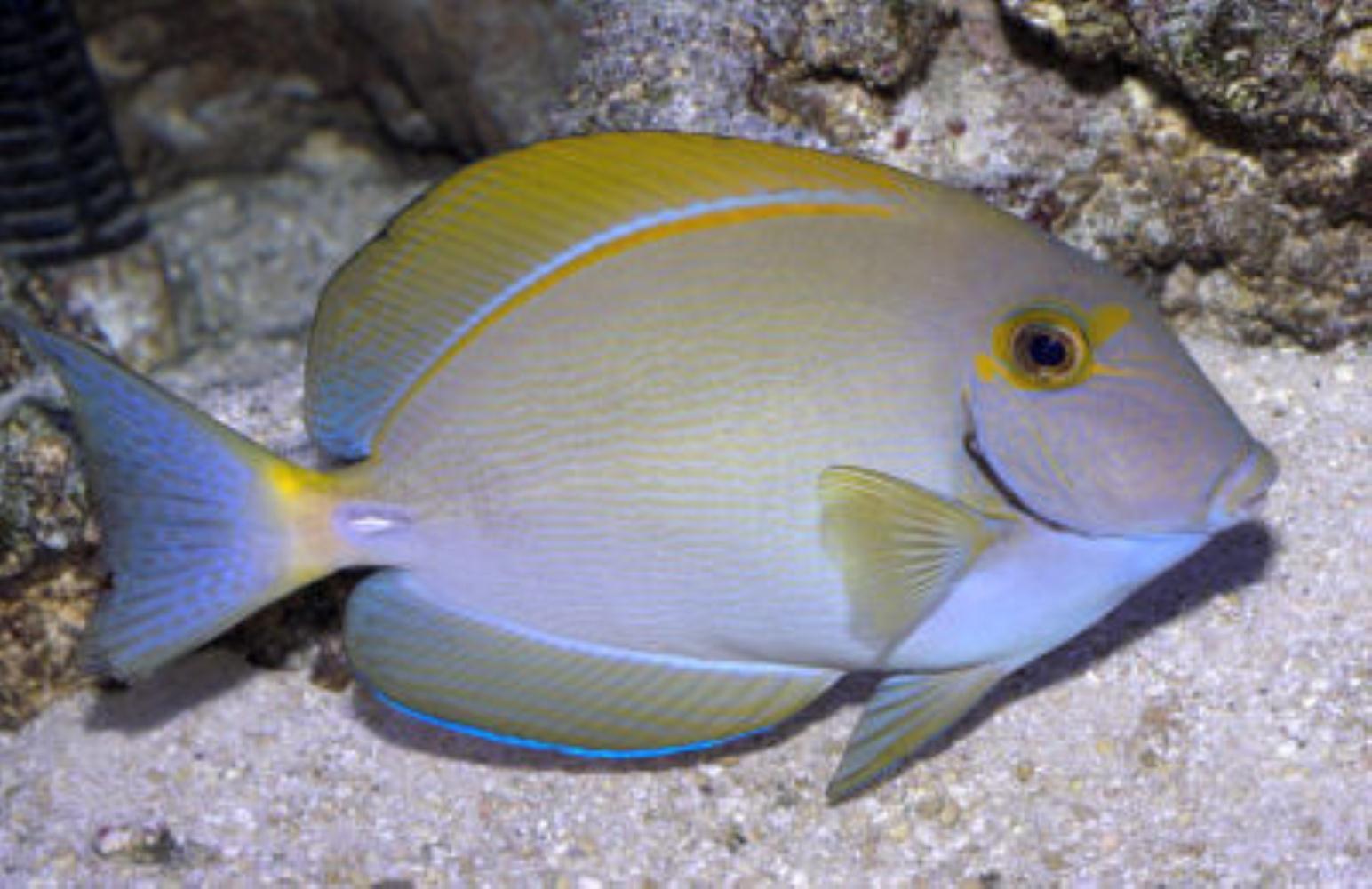 Dussumier's Surgeonfish
