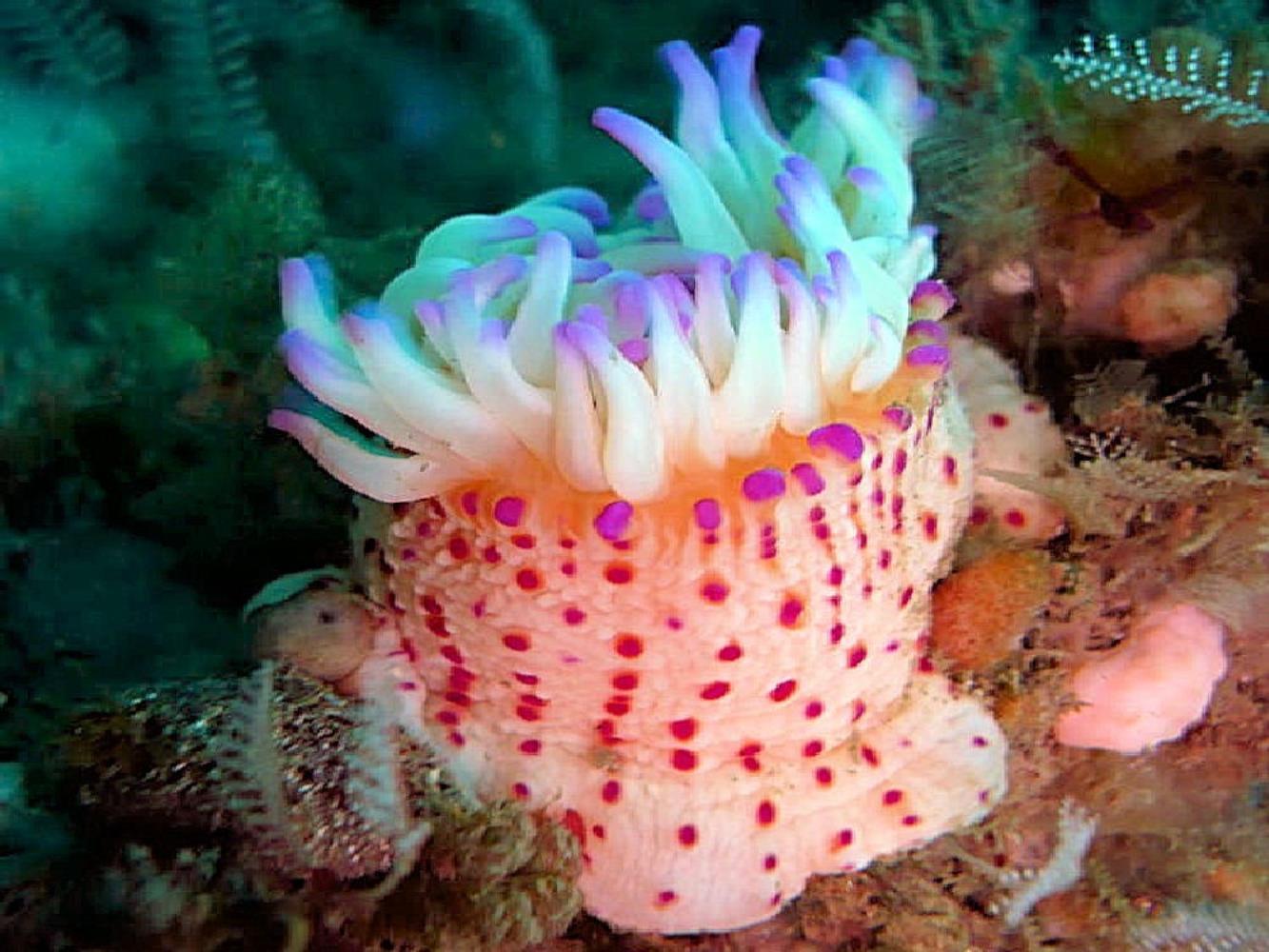 Dwarf spotted anemone