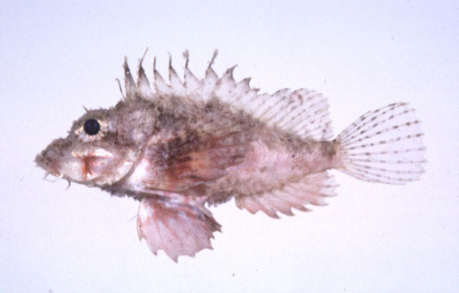 Dwarf Stingfish