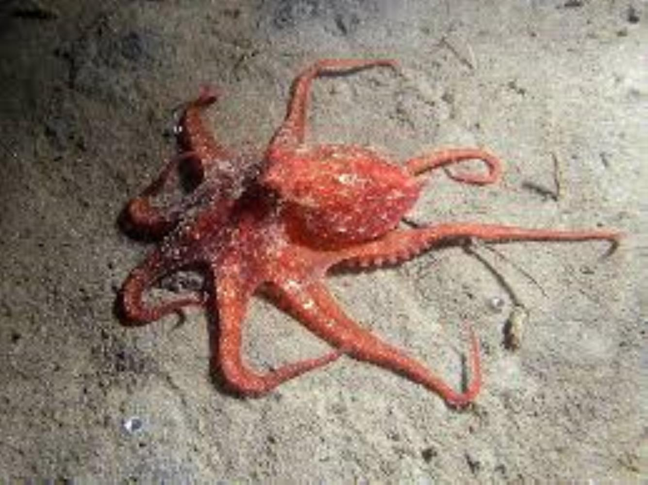 East Pacific red octopus