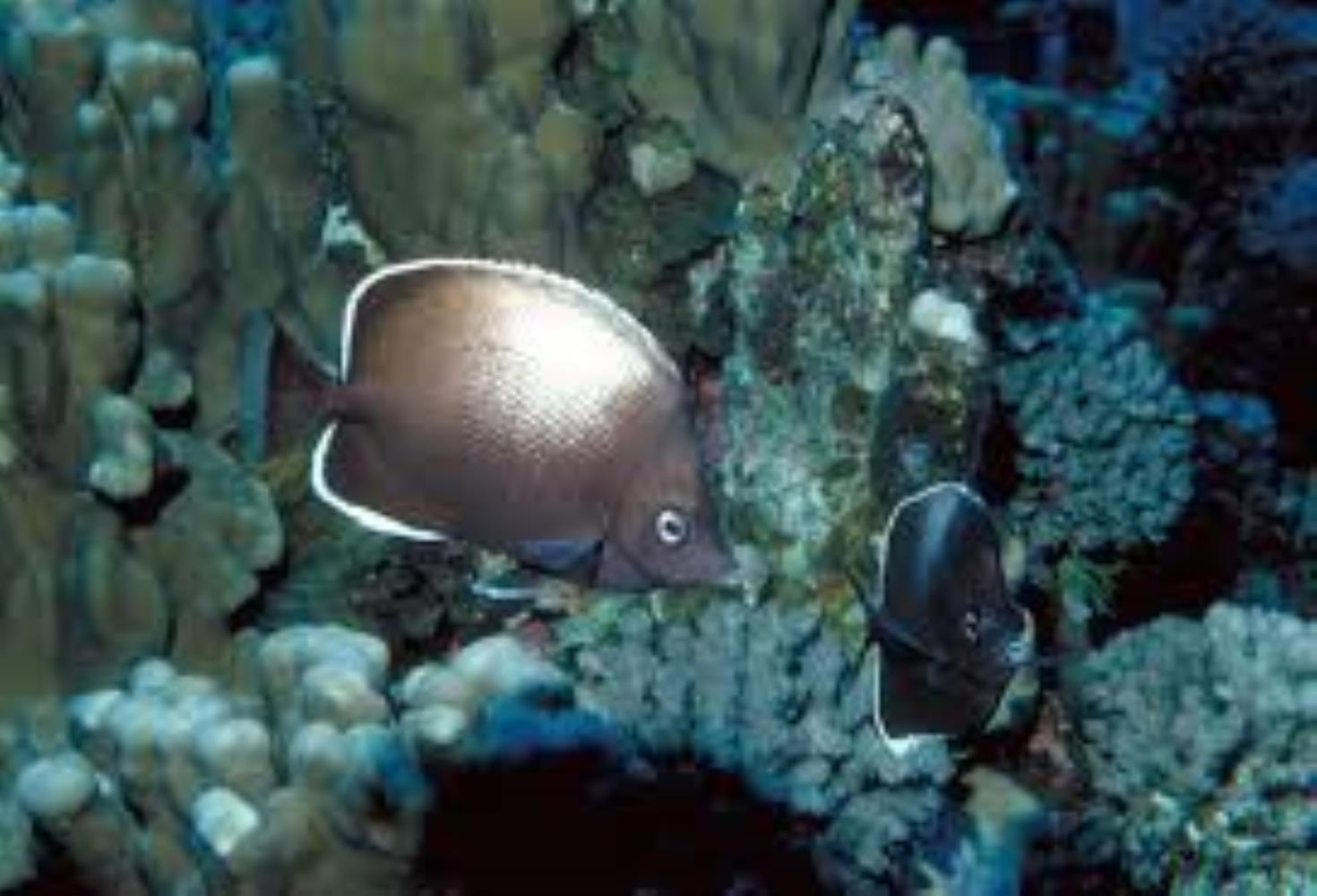 Easter Island Butterflyfish