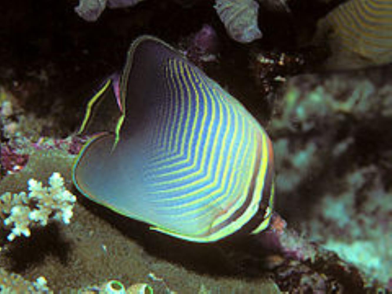 Eastern Triangular Butterflyfish