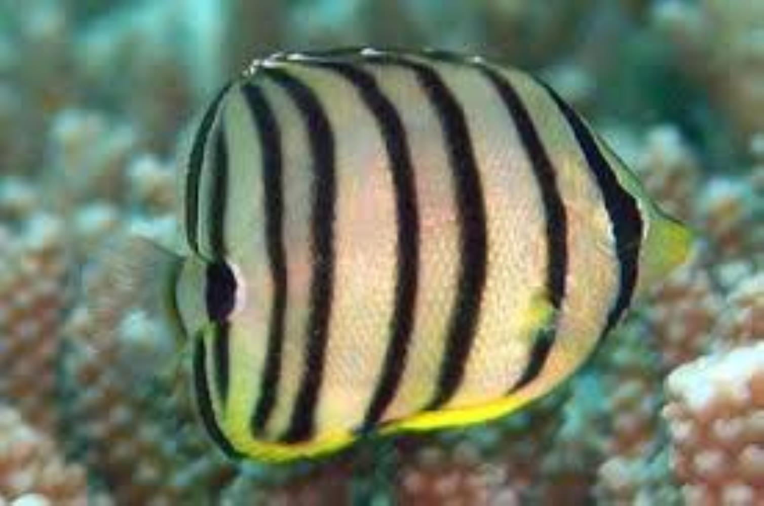 Eightband Butterflyfish