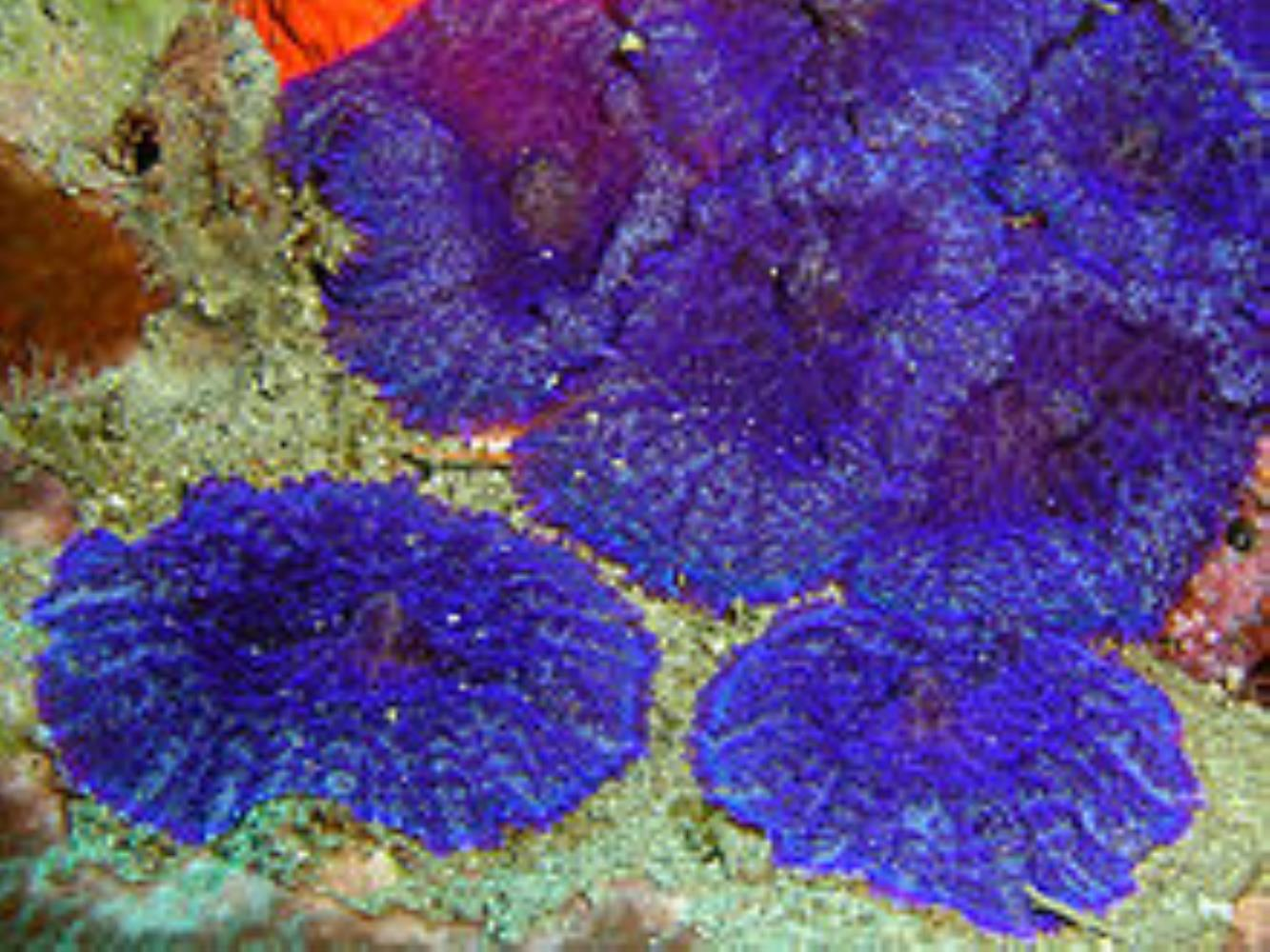 Elephant-ear corals