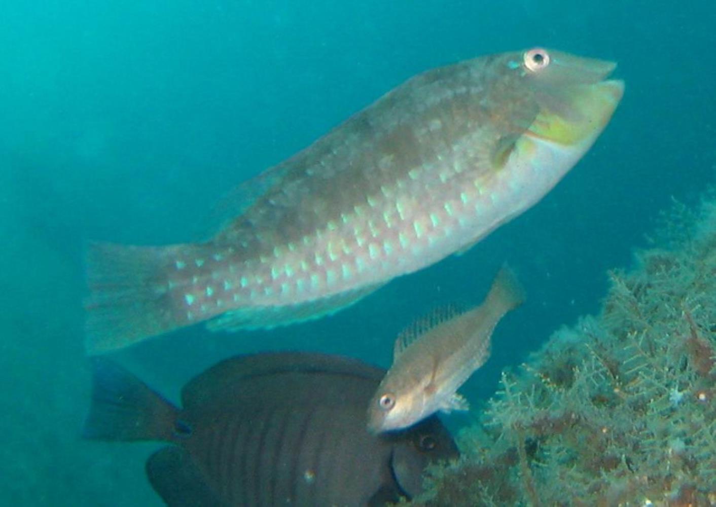 Emerald Parrotfish