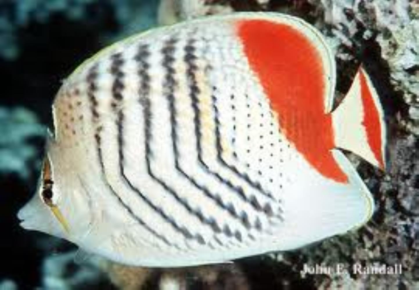 Eritrean Butterflyfish