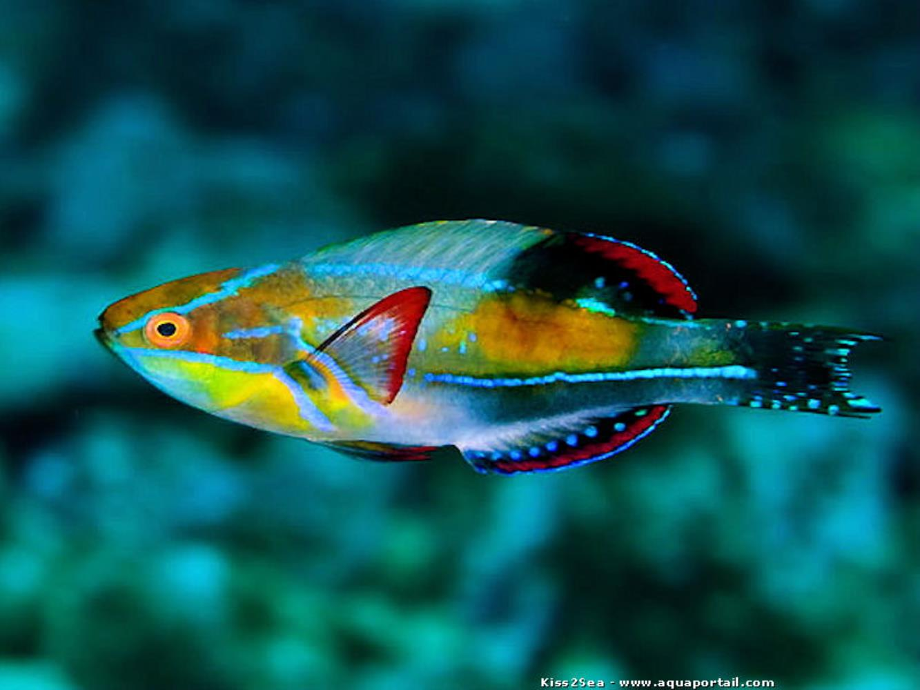 Exquisite Wrasse