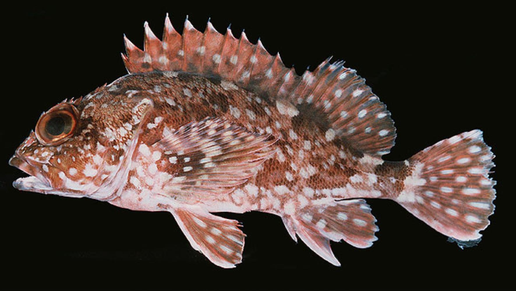 False Kelpfish
