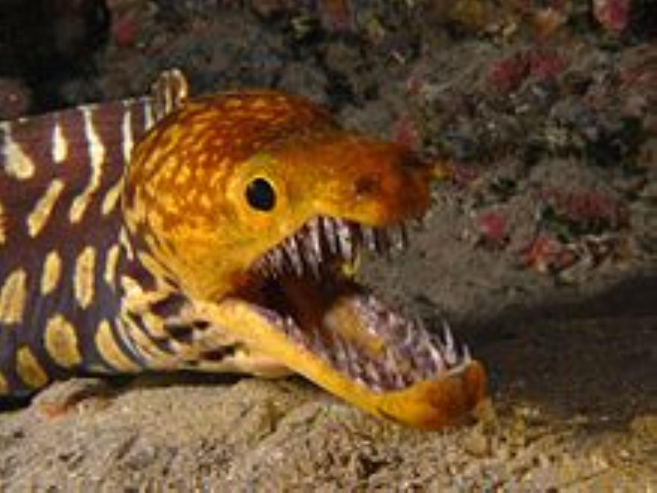 Fangtooth/Tiger Moray