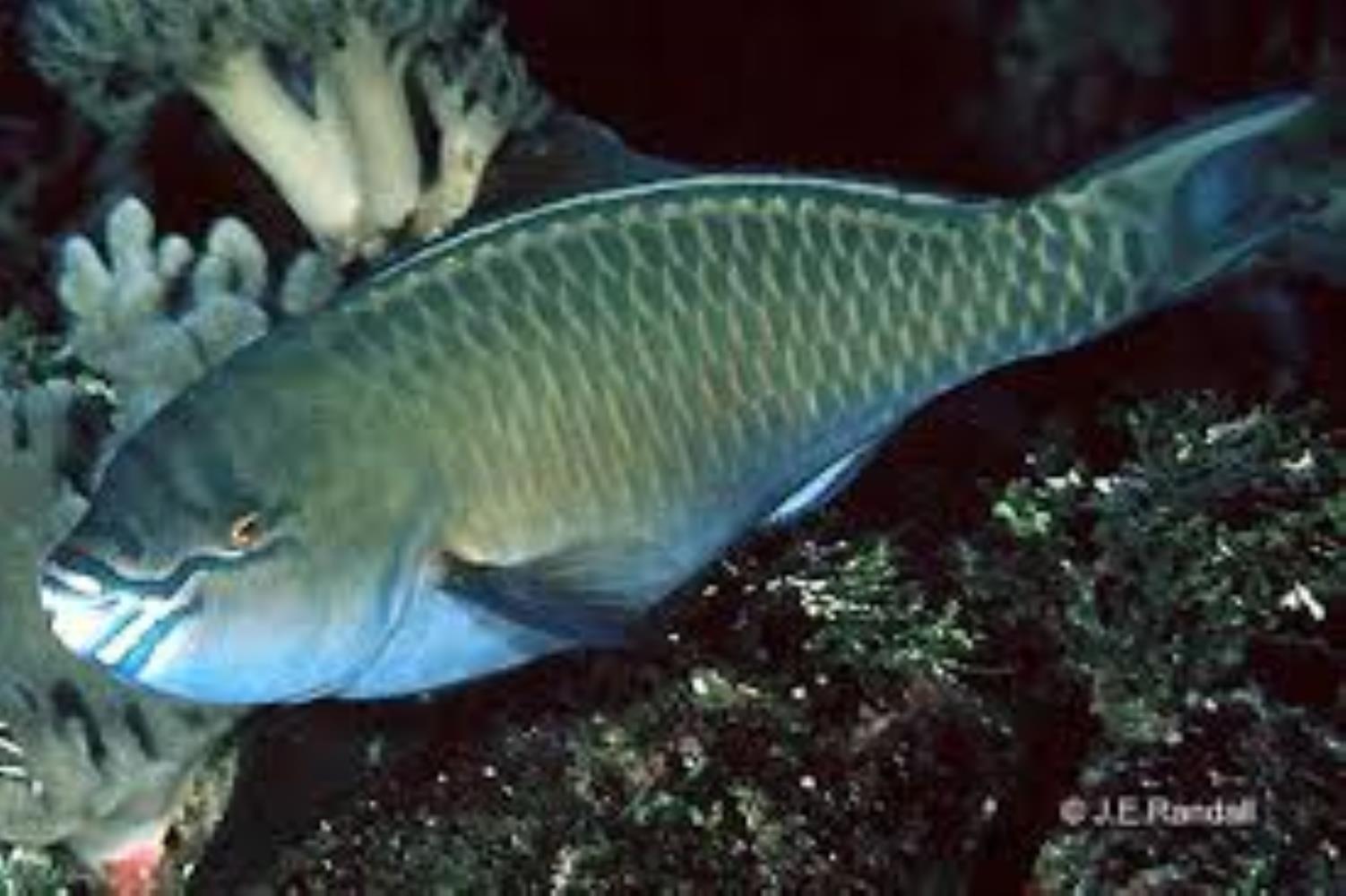 Festive Parrotfish
