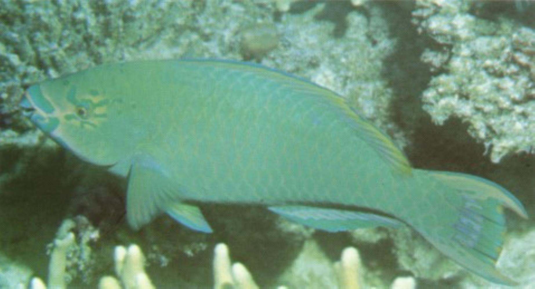 Filament-finned Parrotfish