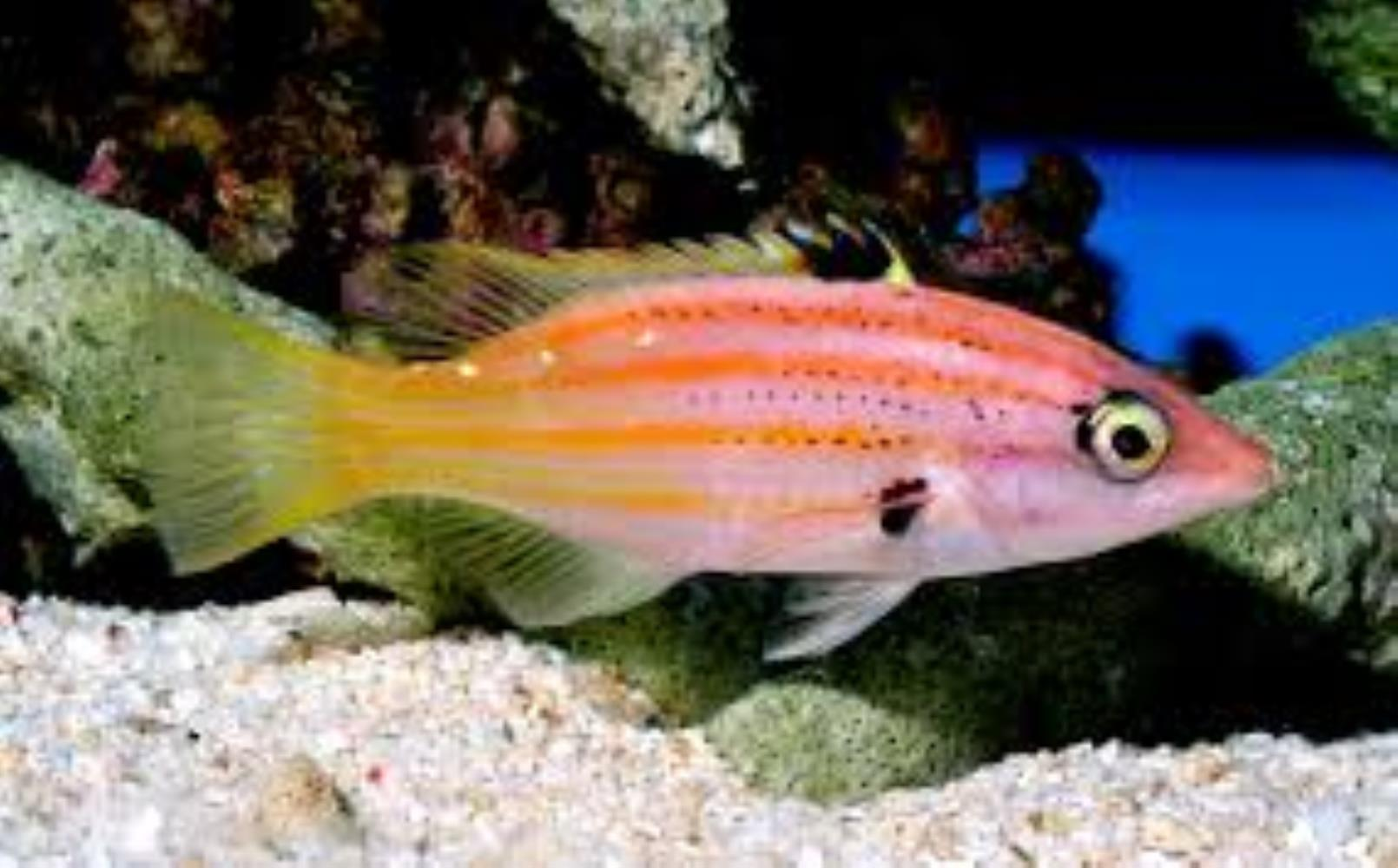 Five-striped Hogfish