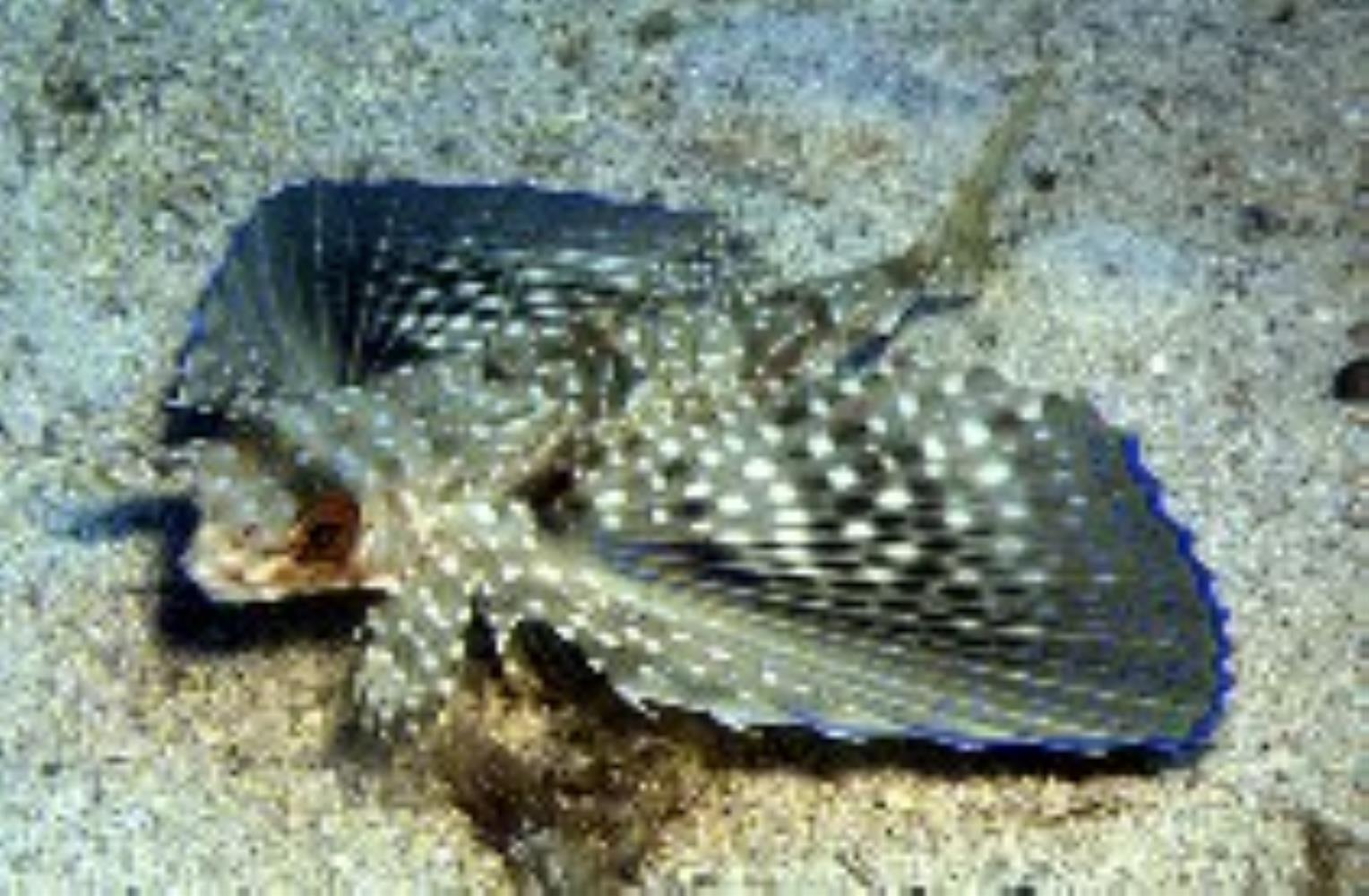 Flying Gurnard/ Coio