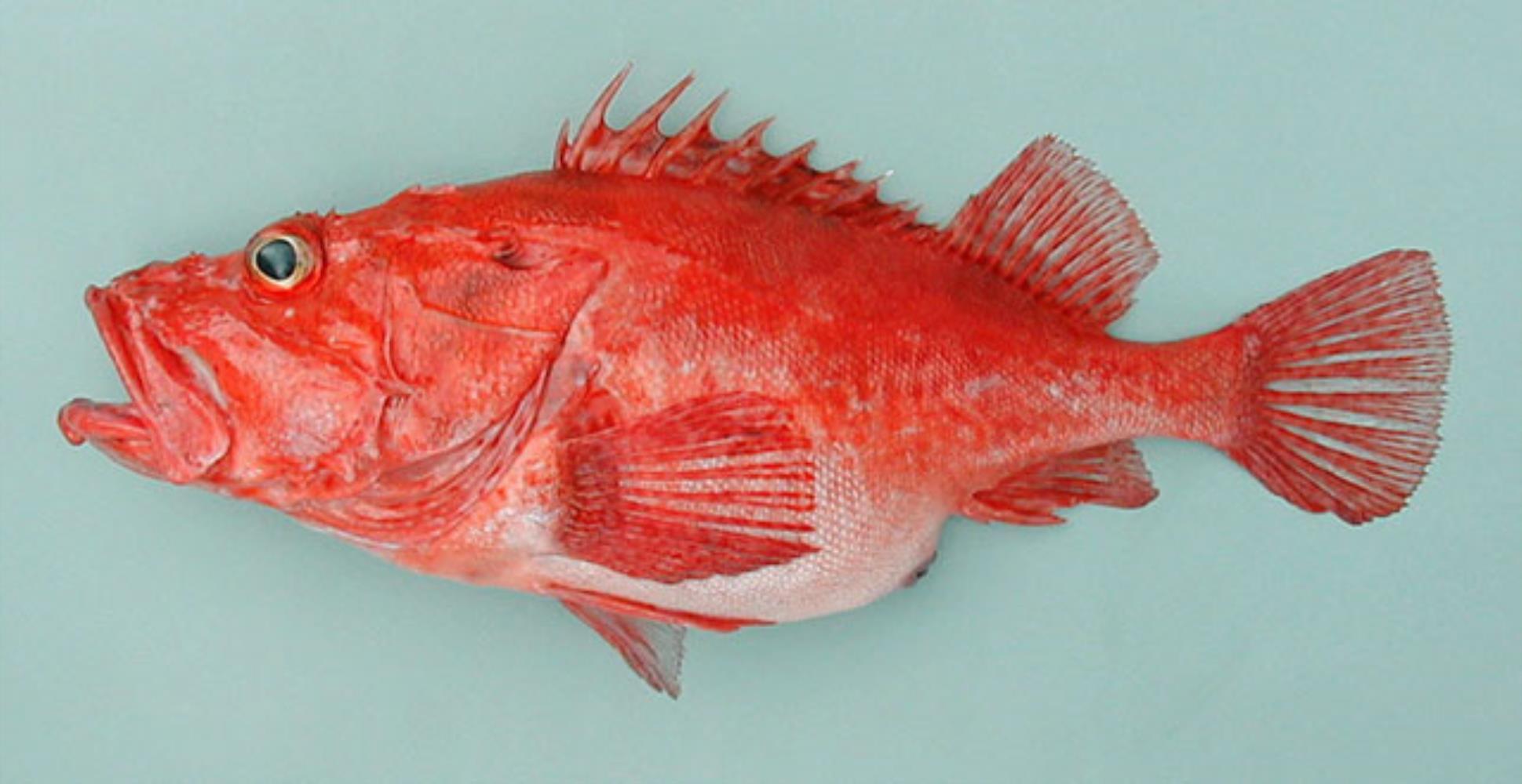 Folger's Scorpionfish