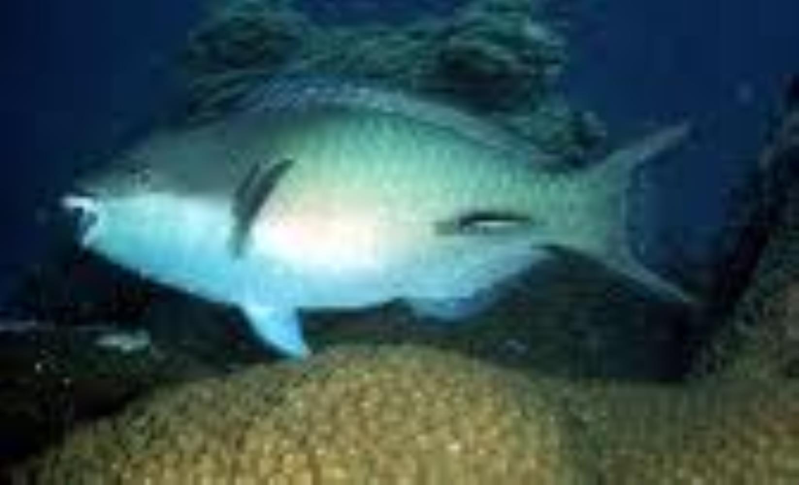Forsten's Parrotfish