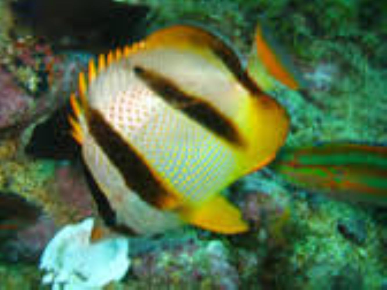 Four-banded Butterflyfish