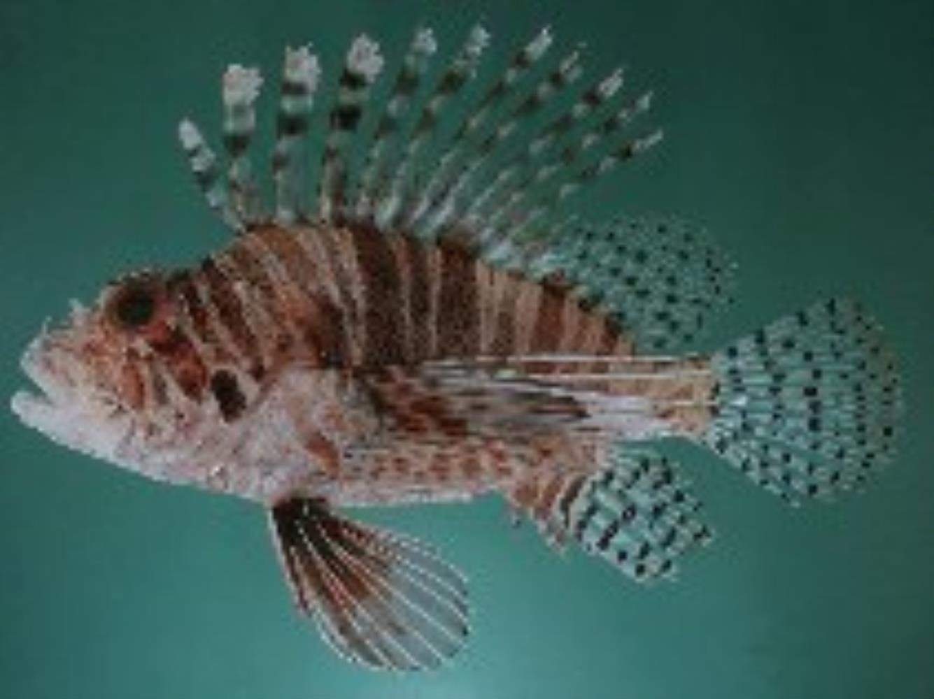 Frillfin Turkeyfish