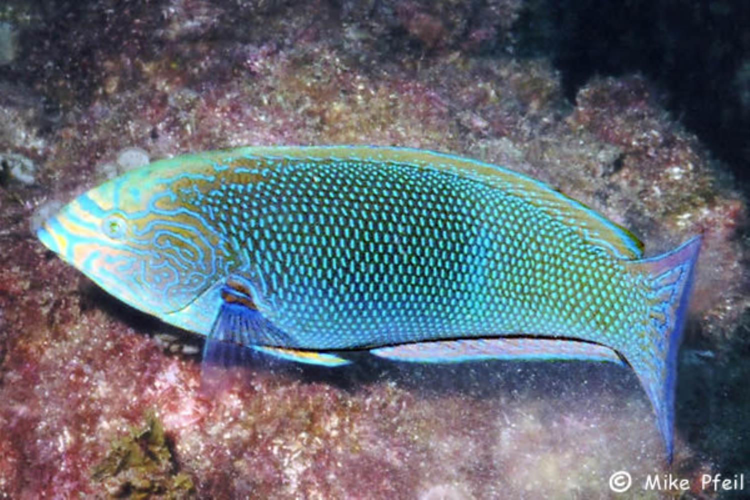 Geographic Wrasse