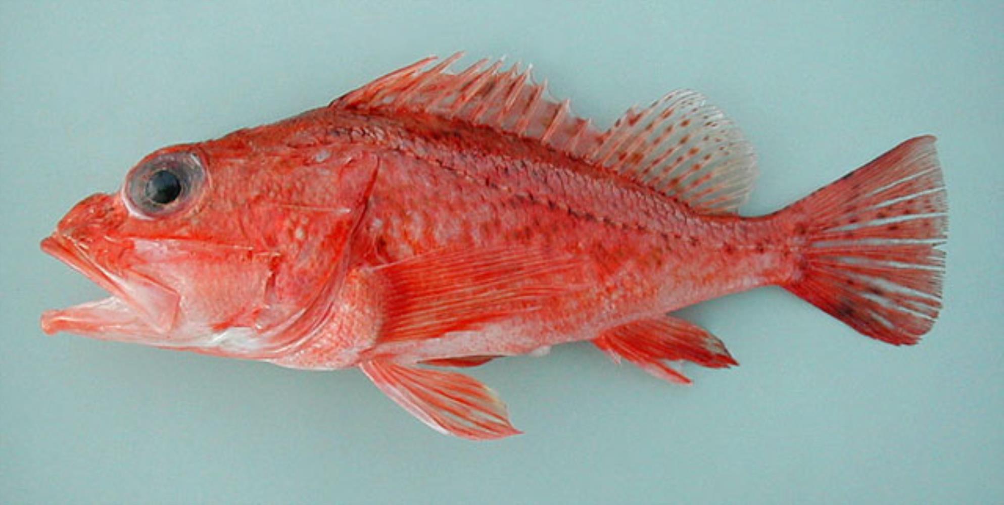 Ghanean Rockfish