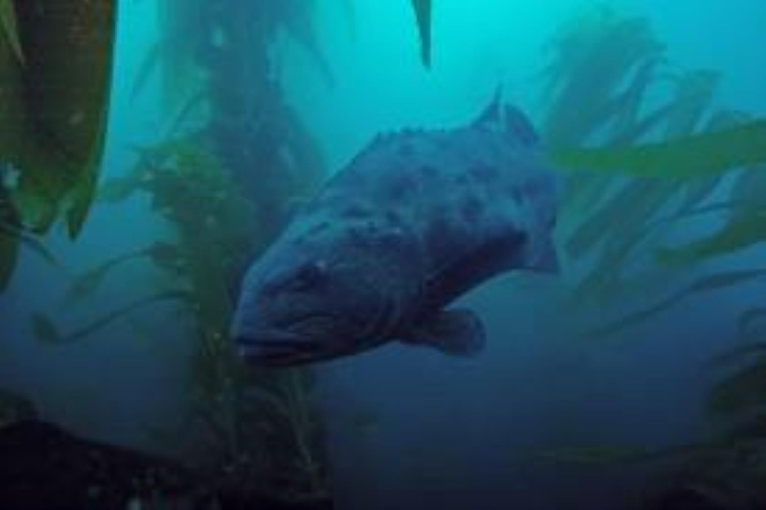 Giant Seabass