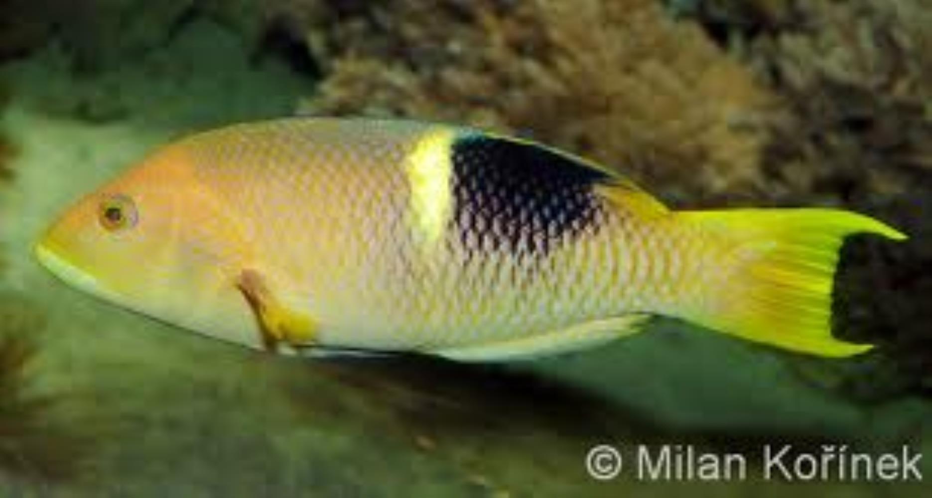 Golden-spot Hogfish