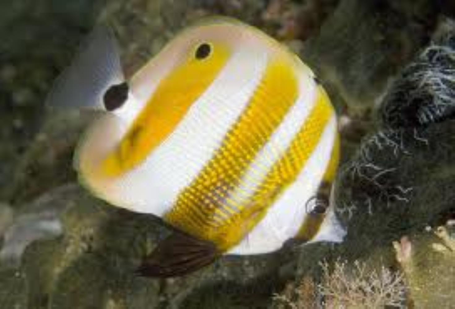 Goldengirdled Coralfish