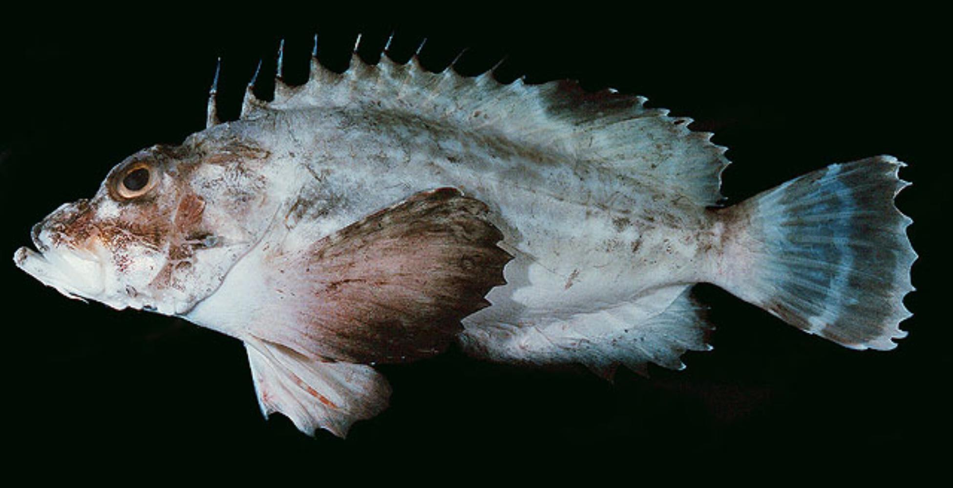 Grey Stingfish
