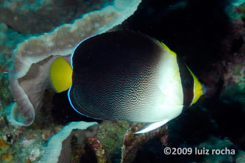 Greytail Angelfish