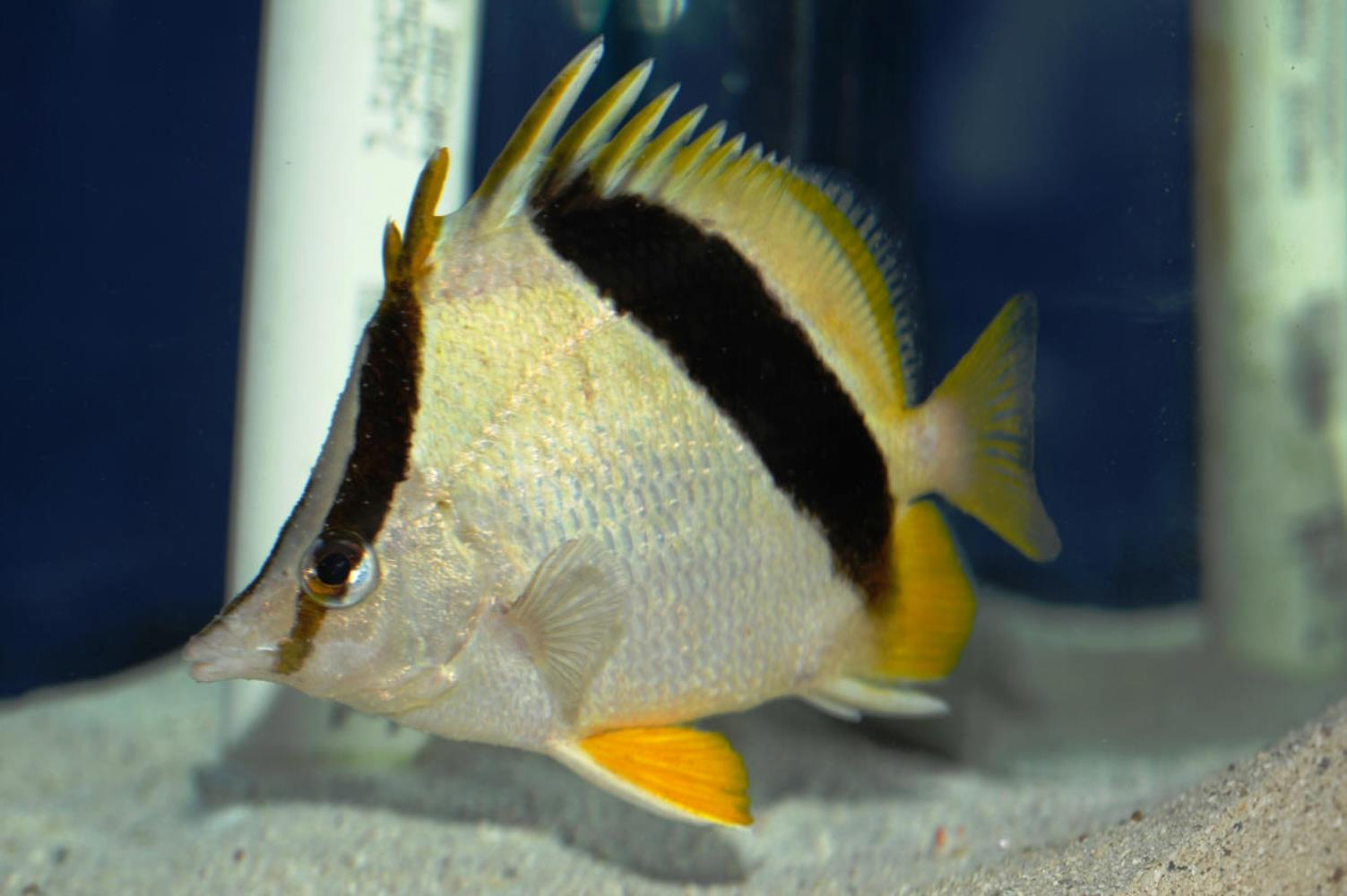 Guyot Butterflyfish
