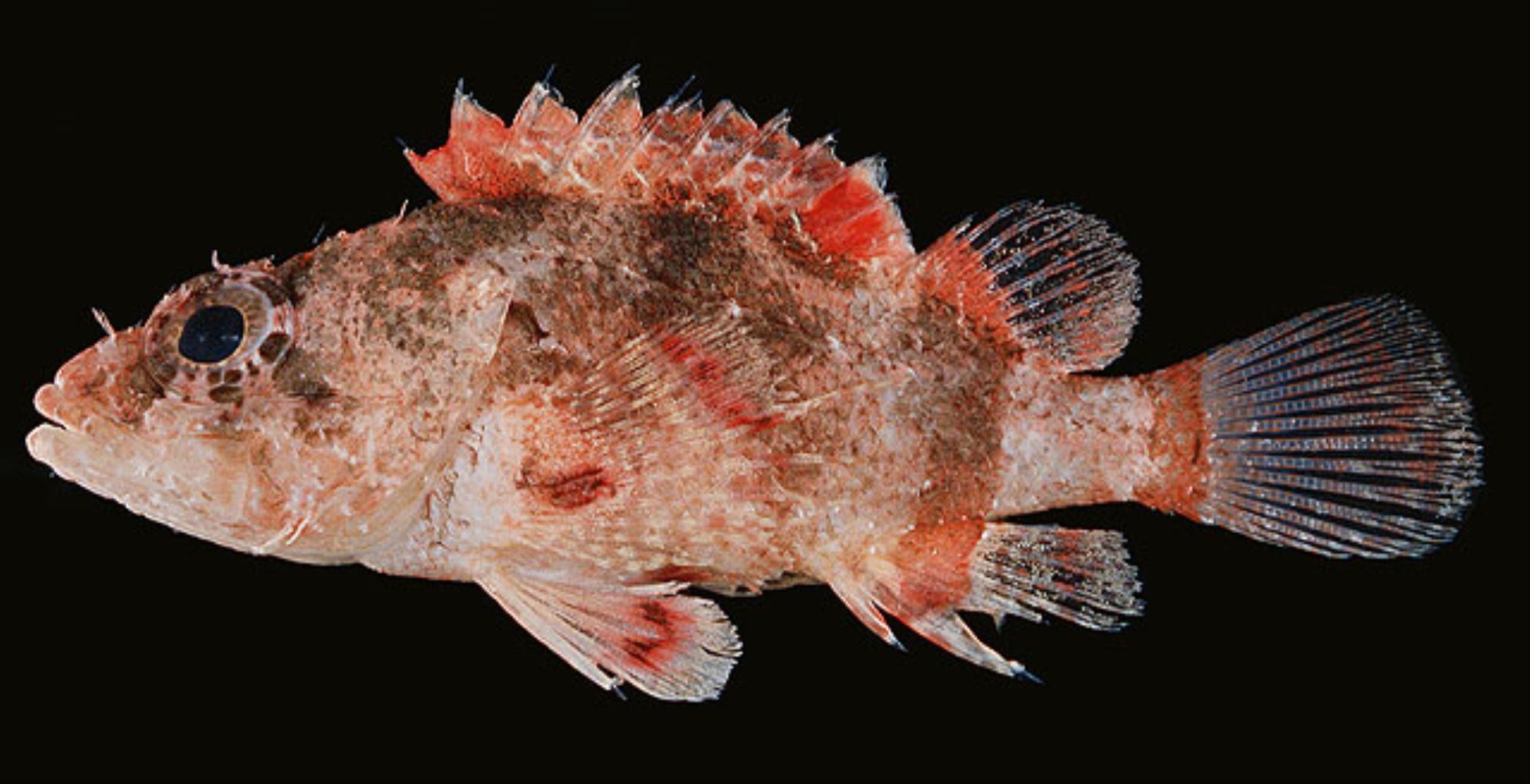 Hairy Scorpionfish