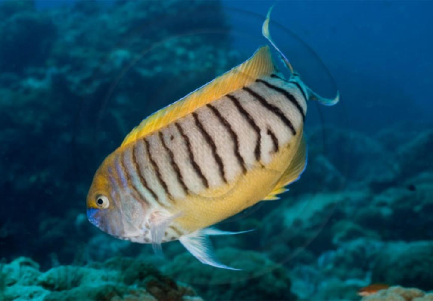 Halfbanded Angelfish