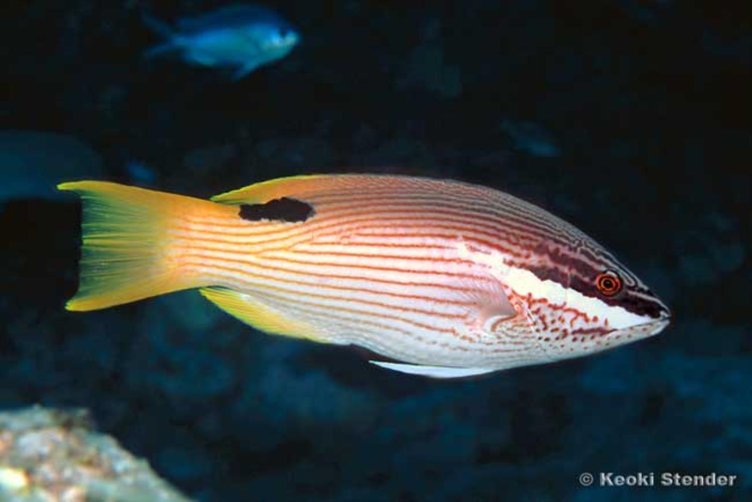 Hawaiian Hogfish