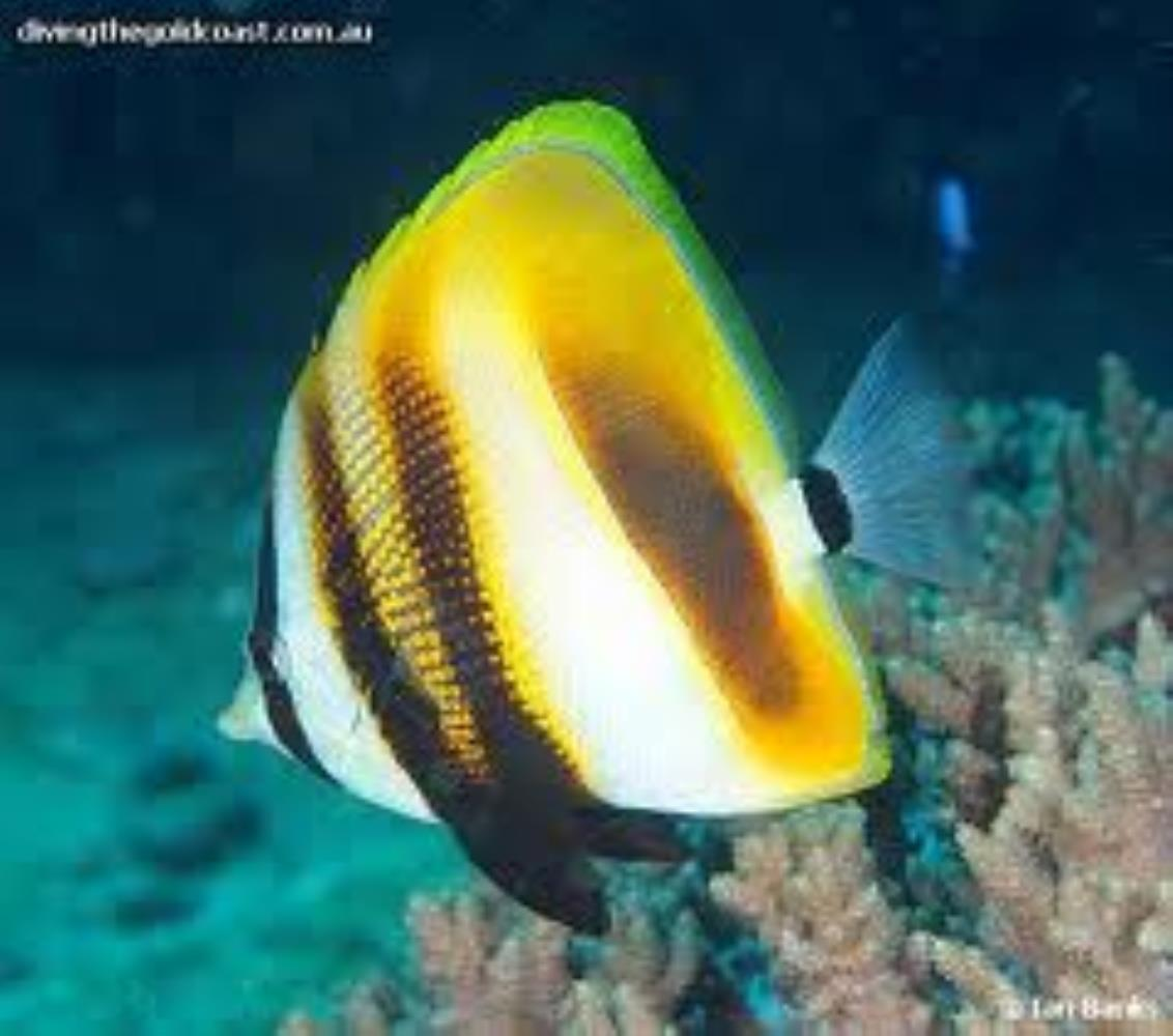 Highfin Coralfish