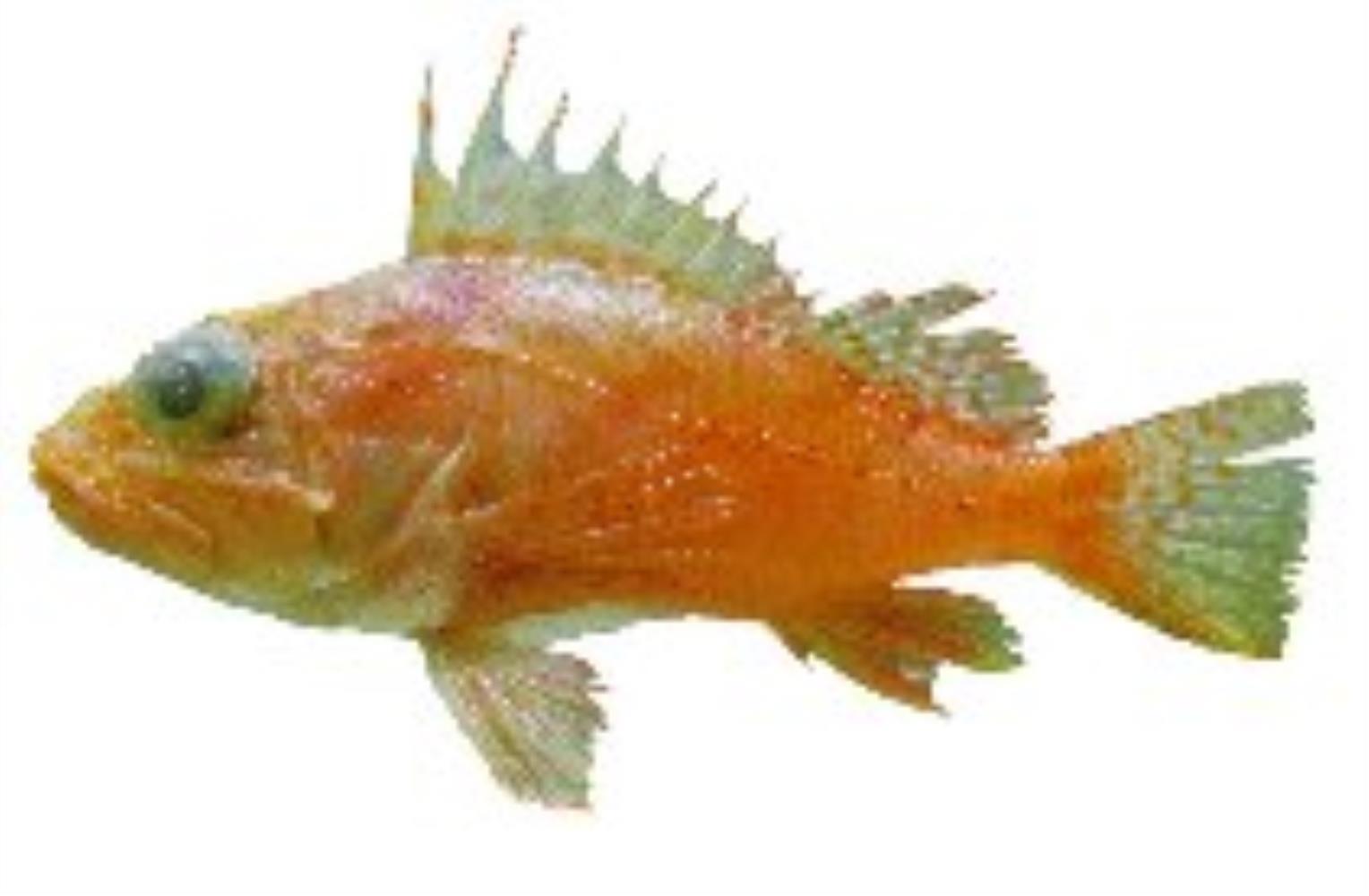 Highfin Scorpionfish