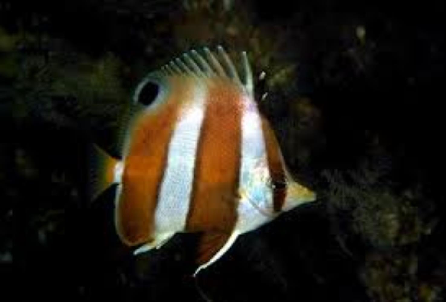 Indian Golden-barred Butterflyfish