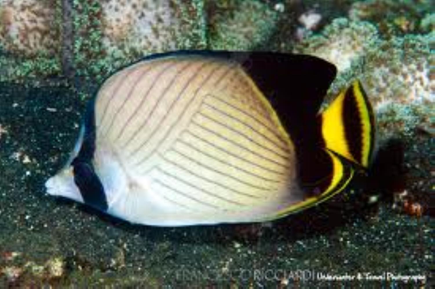 Indian Vagabond Butterflyfish