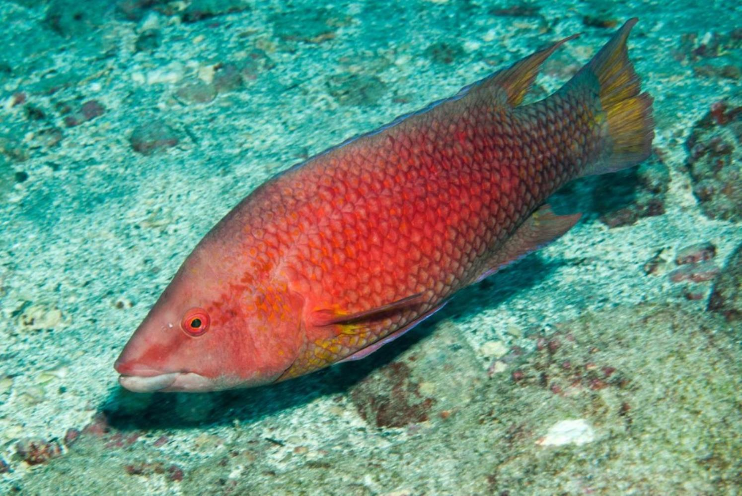 Island Hogfish