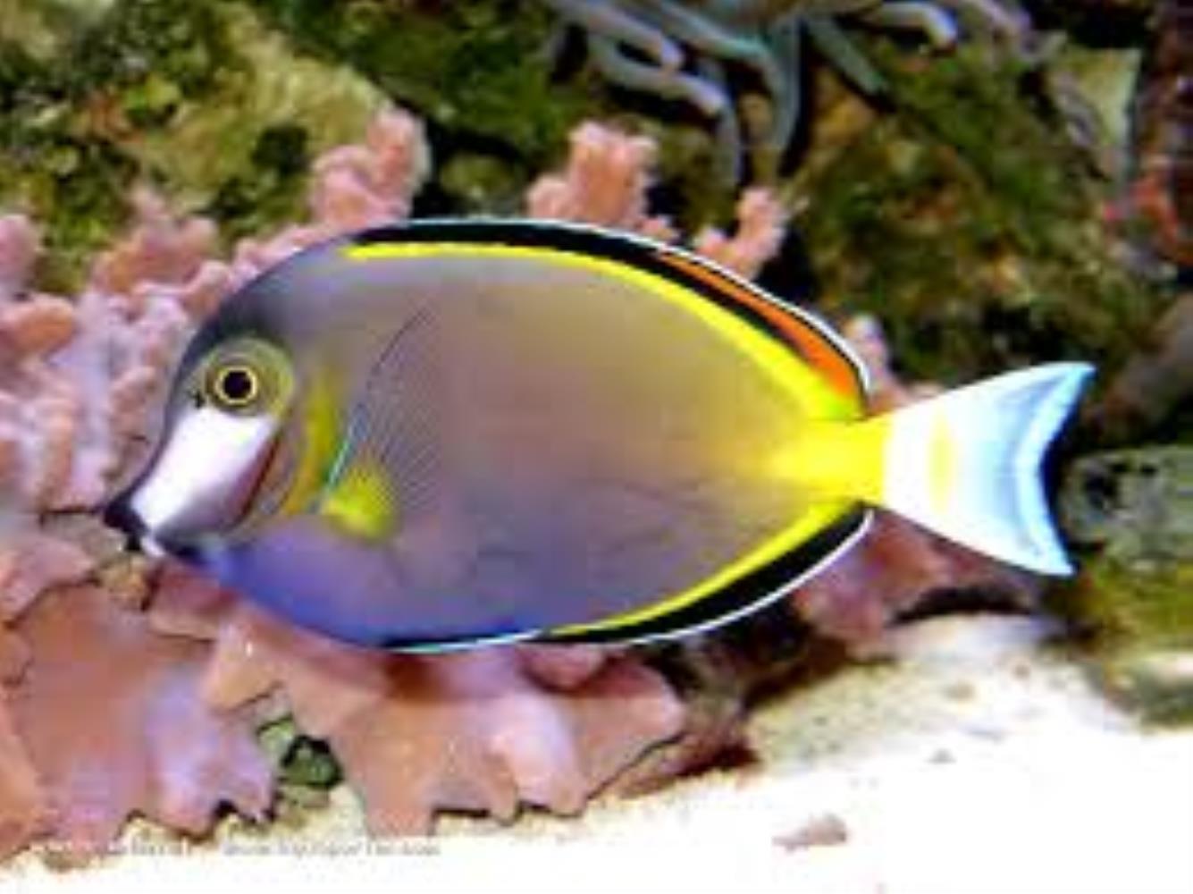 Japan Surgeonfish