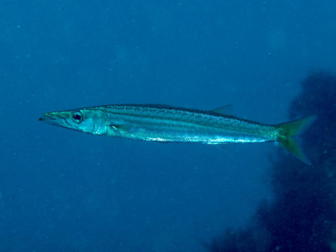Japanese Barracuda