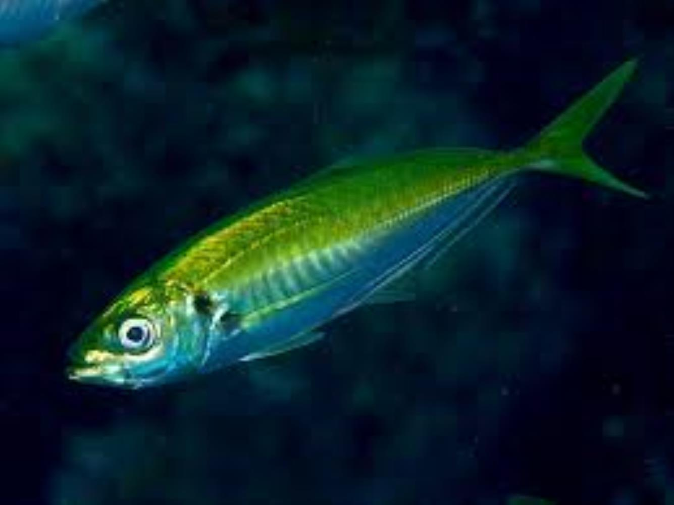 Japanese horse mackerel