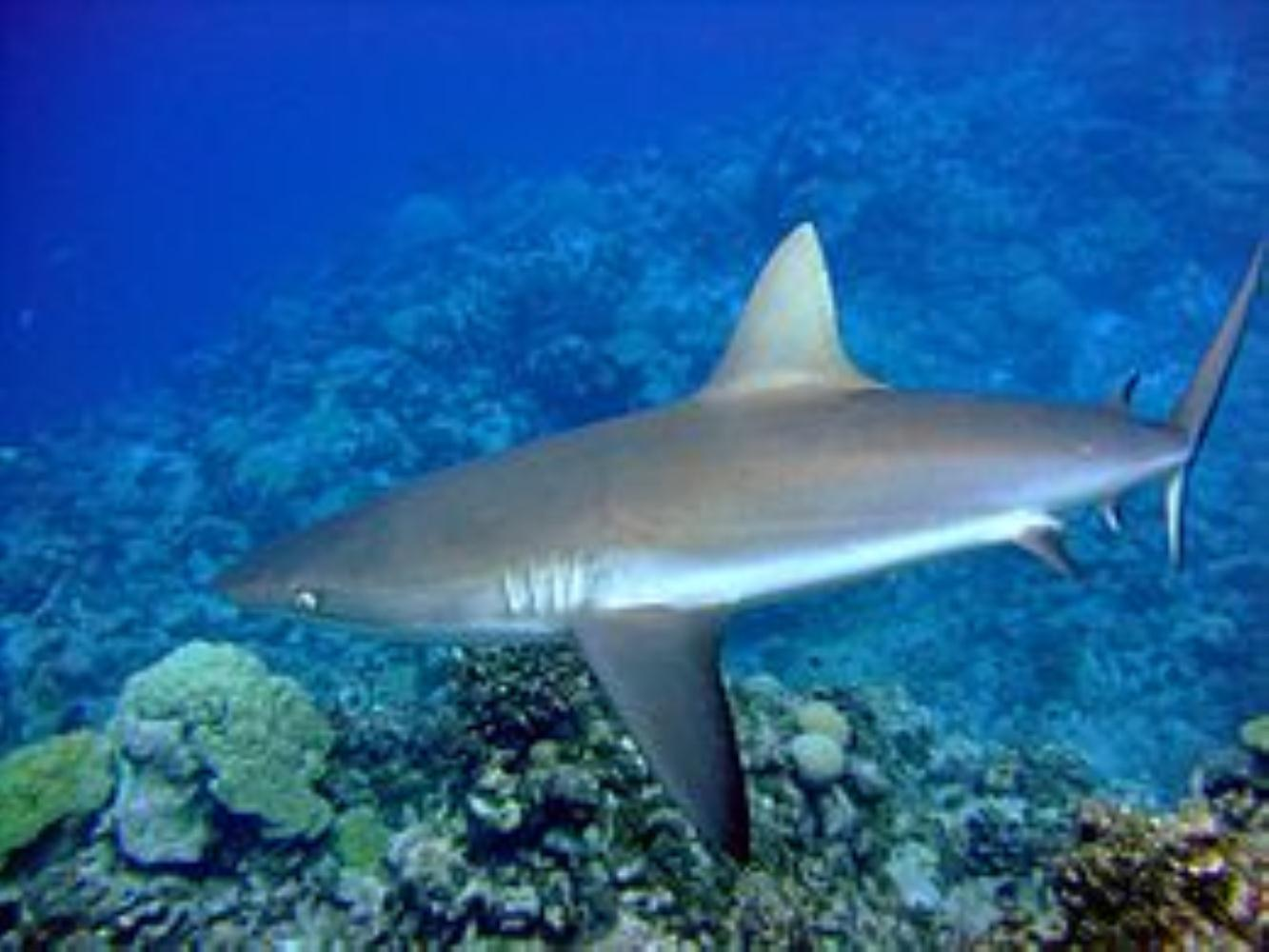 Java Shark